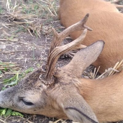 Roe Deer hunting, all season - western Hungary