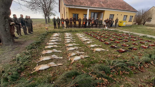 Fabulous small game (Pheasant, Hare) hunts in south-eastern Hungary, Csongrád county, for hunting companies of 10-20 people. with friends, family.