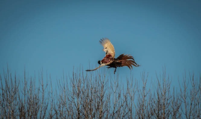 Quality pheasant and partridge hunts in Cegléd – 40km from Budapest