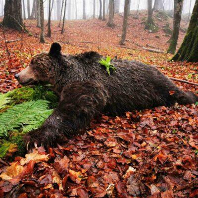 Bear and wolf hunting in Sutjeska National Park, Bosnia