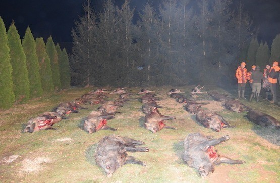 Wild boar hunting with raccoon, fox, jackal - lavish hunting ground in Somogy county - western Hungary