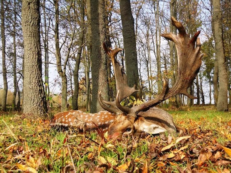 Fallow deer bucks in Tiszavasvári – east of Budapest, next to the M3 motorway